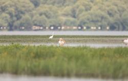 Danube delta exploration biosphere reserve for bird watching pelecanus or pelican in natural environment. Great white pelicans in danube delta reservation exploration for family pelecanidae