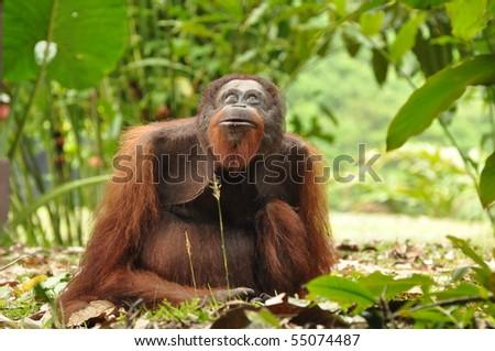Danum Valley, Borneo-Orang utan in the primary rainforest-Sabah Borneo Malaysia