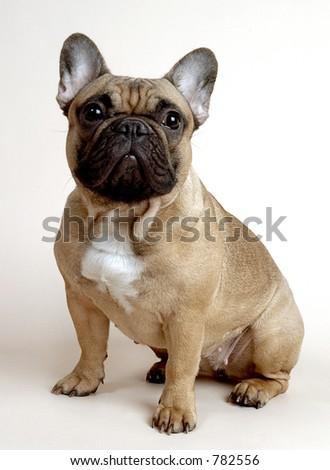 Danya, french bulldog