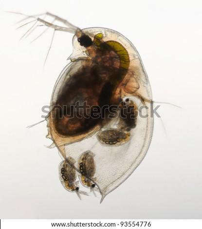 Daphnia pulex - water flea birth of a young animal, birghtfield