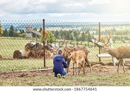 Dappled deers on a reindeer farm. Schoolboy feeding dappled deers at a reindeer farm during an excursion