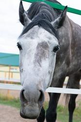 Dappled white black horse close up portrait. Horse inside of farmyard fence