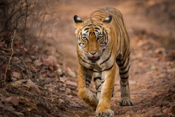 Dare to stare, A undisputed queen and a famous tigress of Ranthambore Tiger Reserve, India