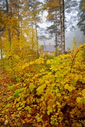 Dark atmospheric landscape of the evergreen forest in a fog at sunrise. Ancient pine trees, green and golden plants close-up. Ecology, seasons, autumn, ecotourism, environment, reforestation. Europe