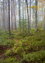 Dark atmospheric landscape of the evergreen forest in a fog at sunrise. Pine, spruce, maple, birch trees and colorful plants close-up. Ecology, autumn, ecotourism, environmental conservation in Europe