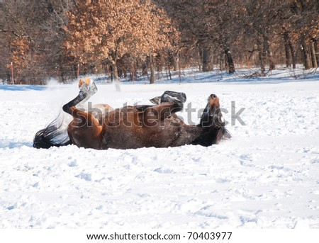 stock-photo-dark-bay-horse-enjoying-a-good-roll-in-deep-snow-70403977.jpg