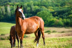 Dark bay horses in a meadow with green grass