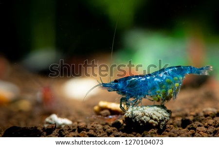 Dark blue dwarf shrimp with pregnancy in fresh water aquarium tank and eat shrimp food #1270104073