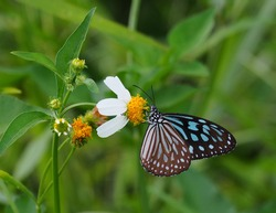 Dark Blue Glassy Tiger is a butterfly with blue and black color wing on natural background blur In soft green ,scientific name of Ideopsis vulgaris. The butterfly collecting nectar on flower .