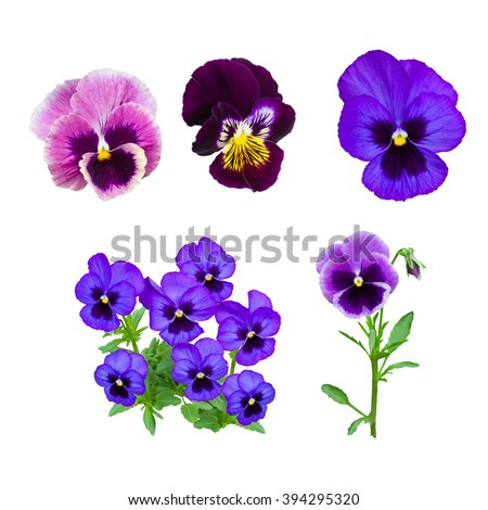 Dark blue pansy flower isolated on white background #394295320