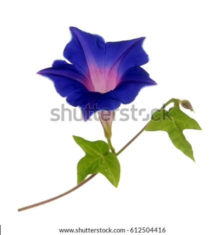 dark blue purple glory morning flower isolated on white background