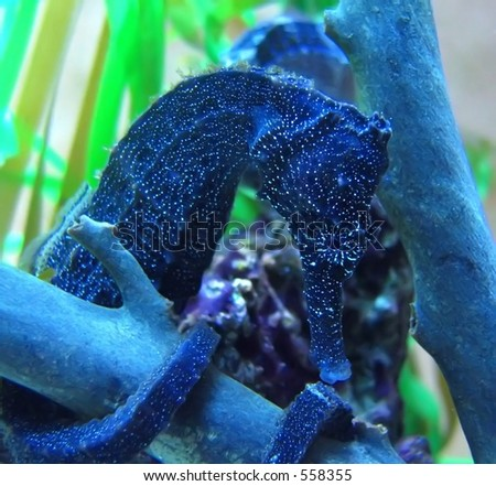 stock photo : dark blue seahorse