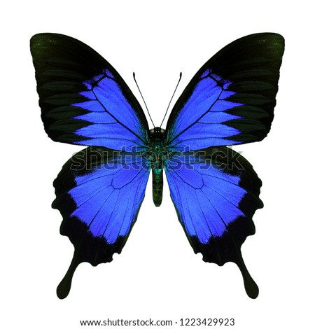 Dark blue swallowtail butterfly in fancy color transparency profile on white background, beautiful animal