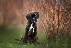 dark brindle german boxer puppy posing outdoors