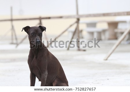 Dark brown dog sitting on the concrete ground. a domesticated carnivorous mammal that typically has a long snout, an acute sense of smell, and a barking, howling, or whining voice. #752827657