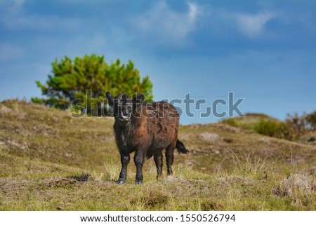 Dark brown Galloway cattle standing in national park De Muy in the Netherlands on island Texel  Foto stock ©