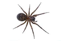 Dark brown spider isolated on a white background