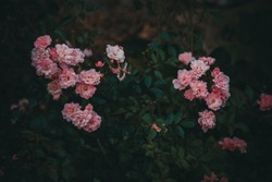 dark bush of pink decorative roses