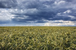 Dark clouds above rye field in Polish Jurassic Highland, Silesia region in Poland
