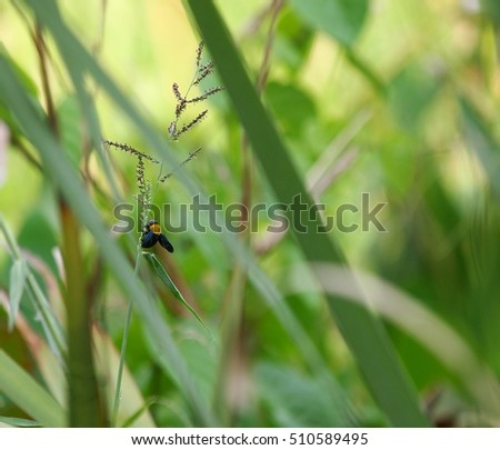 dark color flying bug looks like a large bee with yellow dot collects nectar from wild flowers in a natural pond surrounding with green long leaves wetland water plants as blur background #510589495