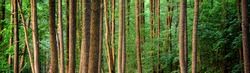 Dark evergreen forest. Mighty pine, spruce, fir trees. Fog, sunlight. Moss, fern, plants, tree logs. Atmospheric landscape. Pure nature, climate, seasons, rainforest. Panoramic view
