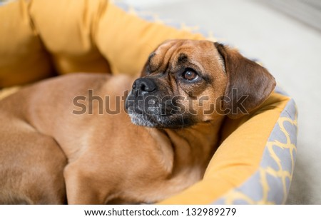 Dark Fawn Puggle Dog Laying in Round Bed Looking Up