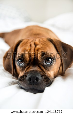Dark Fawn Puggle Dog Laying on Owners Bed