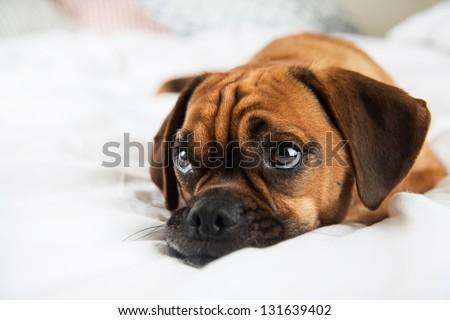 Puggle Dog Names Dark Fawn Puggle Dog Laying on