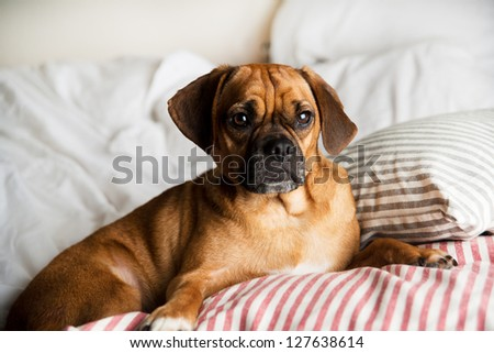 Dark Fawn Puggle Dog Laying on Owners Bed in Morning