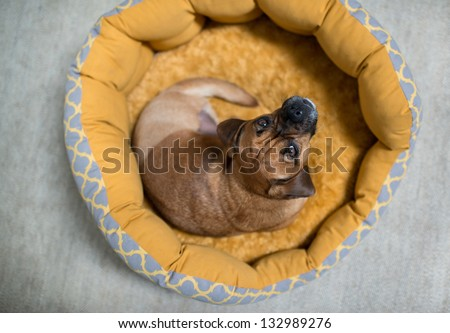 Dark Fawn Puggle Dog Missing one Leg Laying in Round Bed Looking Up