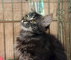 dark fluffy beautiful kitten in a cage in a shelter