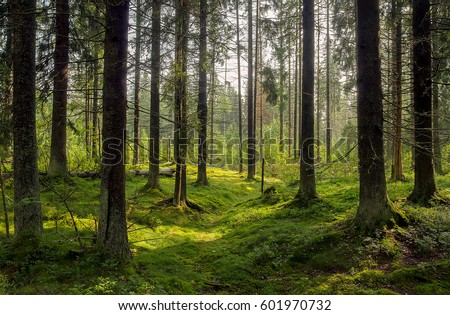 Dark forest background. Karelia forest trees #601970732