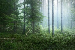 Dark forest scene. Morning fog and sunlight through the trees. Pine and spruce close-up. Kemeri, Latvia