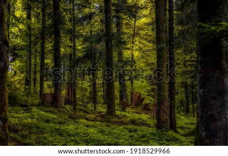 Dark forest trees background. Deep dark forest. Forest trees background. In dark woods