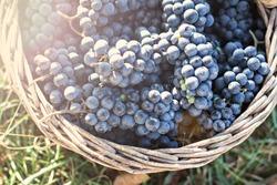 Dark grapes in a basket. Grape harvesting.  Red wine grapes. dark blue grapes, wine grapes in a basket.