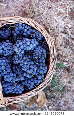 Dark grapes in a basket. Grape harvesting.  Red wine grapes. dark grapes, wine grapes in a basket.