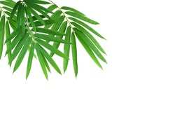 dark green bamboo leave isolated on white background .This has clipping path.