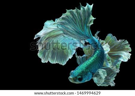 Dark green betta fish, Fancy Halfmoon Betta,The moving moment beautiful of Siamese Fighting fish in Thailand. Betta splendens Pla-kad (biting fish), Rhythmic of Betta fish isolated on black background