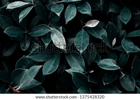 Dark green foliage of a healthy plant with serrated leaves glistening with raindrops