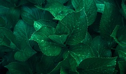 Dark green foliage of a healthy plant with serrated leaves glistening with raindrops. Low key, horizontal background or banner.