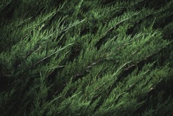 Dark green foliage of Cupressus sempervirens also known as Mediterranean cypress, Italian cypress, Tuscan cypress or Persian cypress