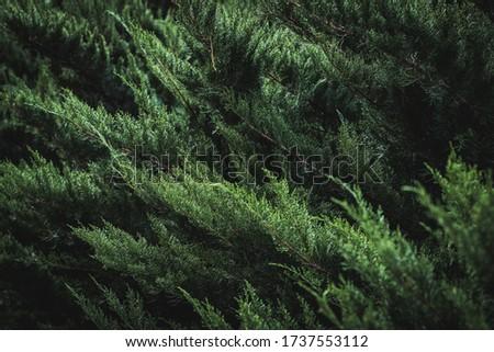 Dark green foliage of Cupressus sempervirens also known as Mediterranean cypress, Italian cypress, Tuscan cypress or Persian cypress ストックフォト ©