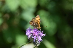 Dark Green Fritillary Butterfly on a thistle flower
