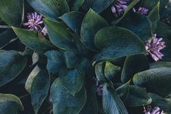 Dark green hosta leaves background.