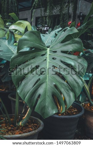 Dark green leaf of Monstera, Philodendron, Monstera deliciosa, the tropical foliage plant in the garden.