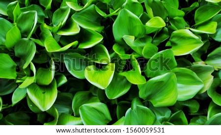 Dark green leaves background of Common water hyacinth, is a free-floating perennial aquatic plant. Water hyacinth is a tropical plant that originated in South America. #1560059531