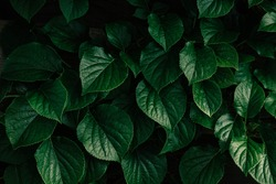 Dark green leaves background of Hydrangea macrophylla, Beautiful leaf pattern texture, Nature background, A species of flowering plant in the family Hydrangeaceae.