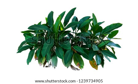 Dark green leaves of Heliconia the tropical foliage plant bush growing in wild isolated on white background, clipping path included. #1239734905
