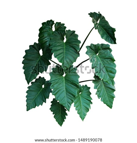 Dark green leaves of Philodendron species (Philodendron speciosum) the tropical foliage climbing plant bush isolated on white background, clipping path included.  #1489190078