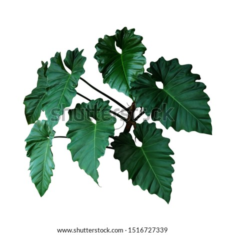 Dark green leaves of Philodendron species (Philodendron speciosum) the tropical foliage climbing vine plant bush isolated on white background, clipping path included.  #1516727339
